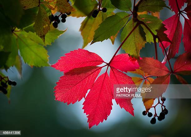 A leaf of the Virginia Creeper hangs from a roof in Frankfurt / Oder eastern Germany on September 30 2014 In autumn the leaves of the climbing vine...