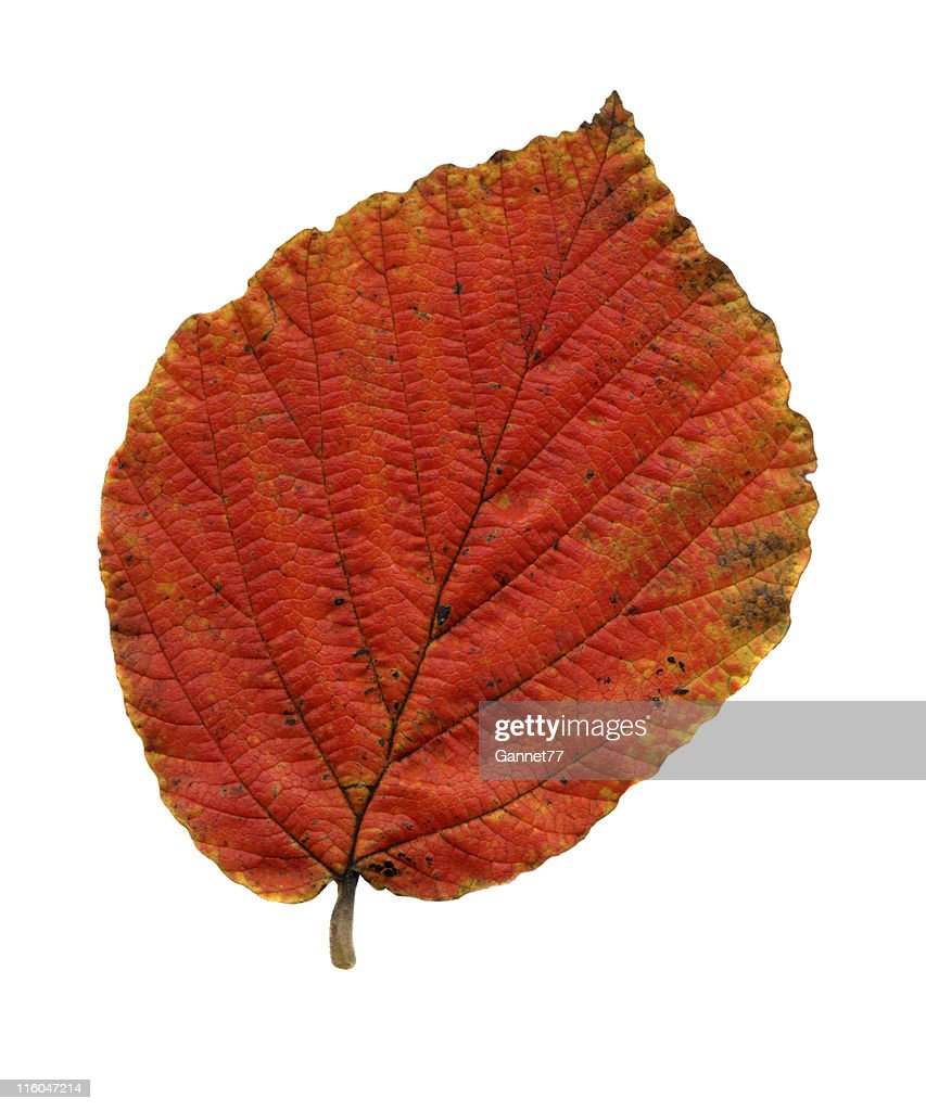 Leaf Of Witchhazel Autumn Colour Stock Photo | Getty Images