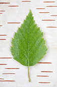 Leaf on bark background