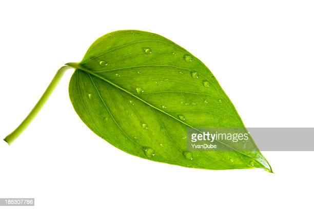 leaf(w/path)