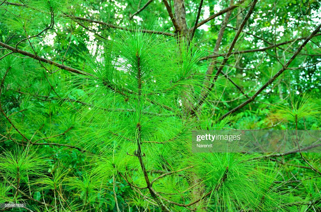 Leaf pine : Stock Photo