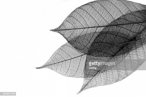 Leaf Skeletons in Black and White