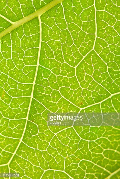 Leaf surface, veins lit from behind, nature background