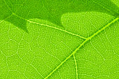 Green Leaf cell structure background folium macro texture