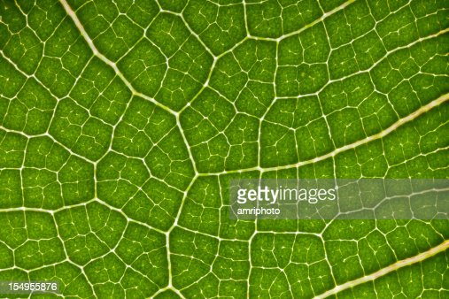Leaf Veins Cells And Chlorophyll Stock Photo | Getty Images
