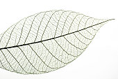 Leaf veins on a white background