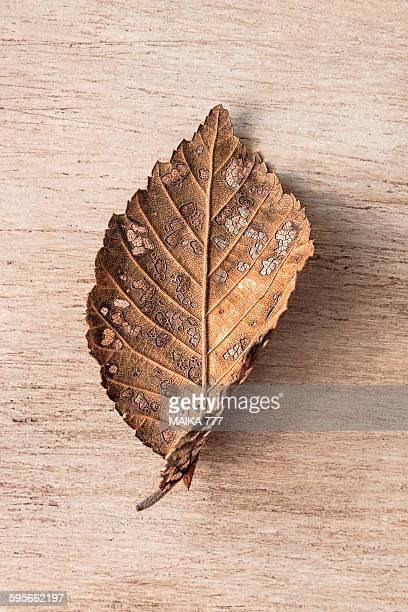 Leaf with dutch Elm disease