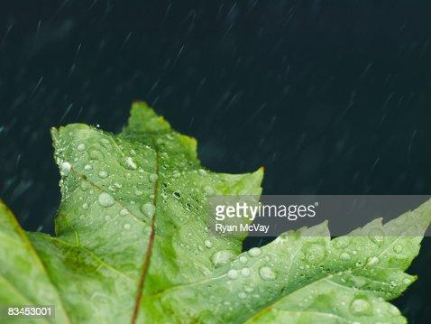 Leaf with rain. : Stock Photo
