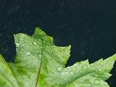 Leaf with rain.