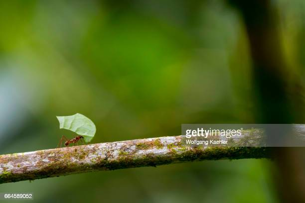 Leafcutter ant carries a section of a leaf larger than their own body in order to cultivate fungus for food at their colony in the rain forest near...