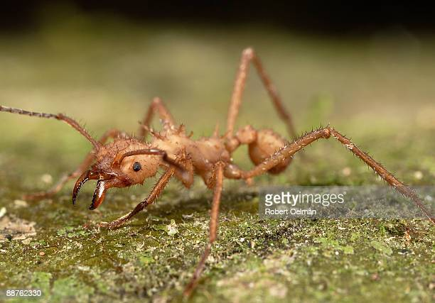 Leafcutter ant (Atta sp.) on ground, Colombia