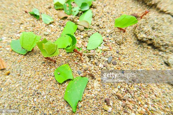 Leafcutter ants are crawling in the sand of Huina Beach on the Pacific Coast on August 31 2016 in Bahia Solano Colombia