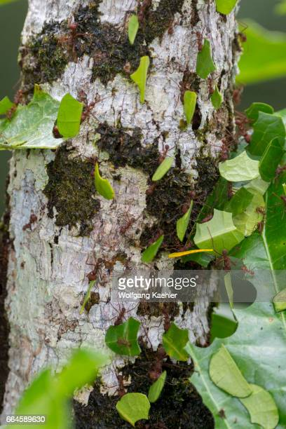 Leafcutter ants carry sections of leaves larger than their own bodies in order to cultivate fungus for food at their colony in the rain forest near...
