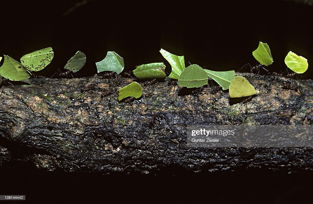 Leafcutting Ants, Atta sp, carrying pieces of leaves, Tambopata Reserve, Peru : Stock Photo
