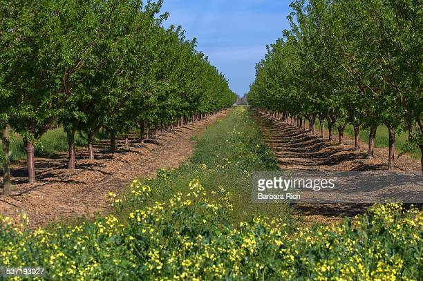 Leafed out California almond trees with mustard