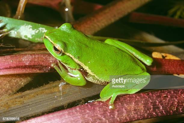 Leafgreen tree frog Litoria phyllochroa Murrrindal Victoria Australia
