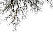 Natural color silhouette of leafless branches isolated on white.