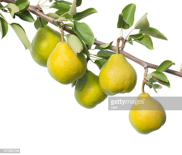 Leafy branch of yellow pears on white background