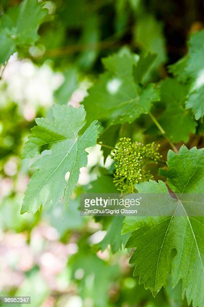 Leafy grapevines