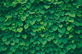 A leafy green background with heart shaped leaves (pipevine).