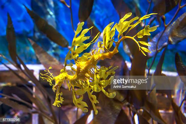 Leafy Sea Dragon, Blue ocean water