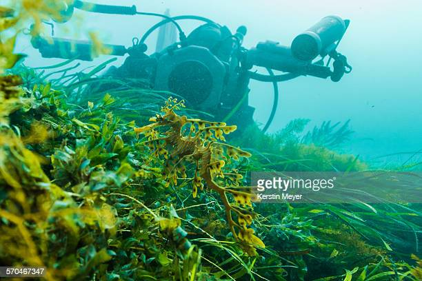 Leafy sea dragon in front of a underwater camera