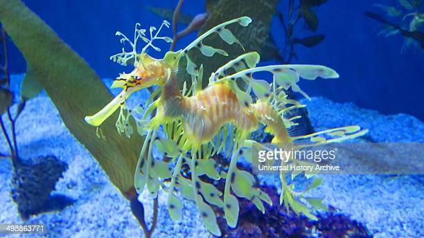 Leafy Seadragon Phycodurus eques