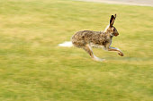 Rabbit leaping through the air