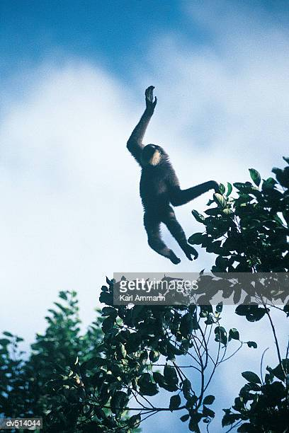 Leaping Gibbon