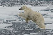Leaping polar bear in the pack ice