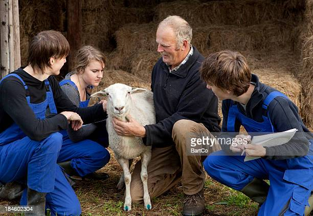 Learning about sheep
