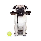 pug dog with leather leash ready for a walk with owner, isolated on  white background