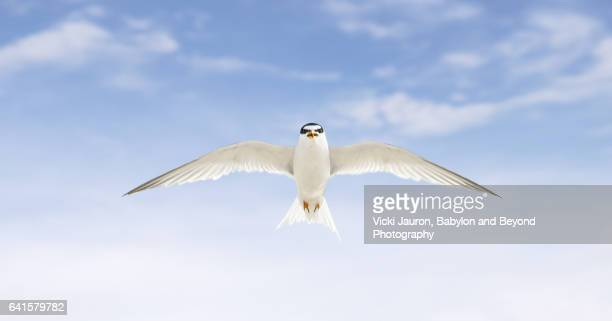 Least Tern About to Attack from Above at Jones Beach, Long Island, NY