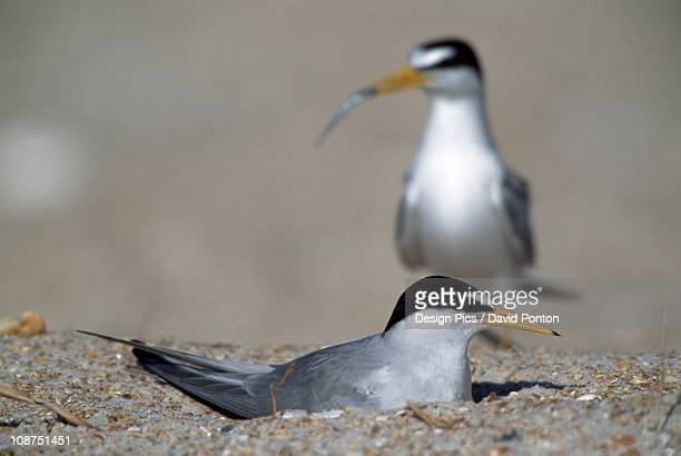 Least Tern Brings Minnow To Mate Incubating Eggs In Nest On Beach, Florida, Usa