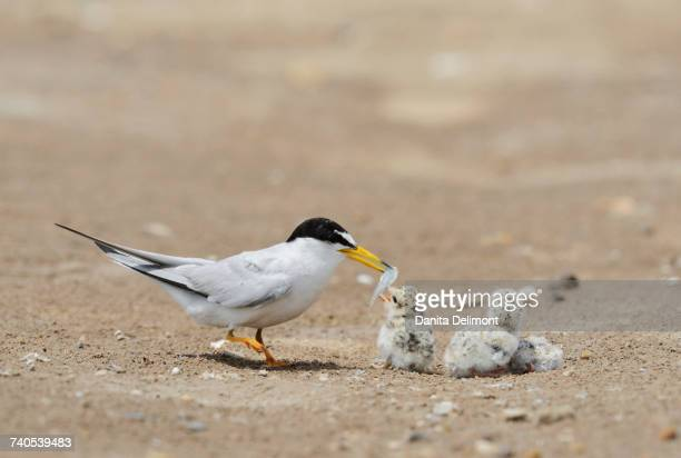 Least Tern (Sterna antillarum) feeding chicks, Port Isabel, Laguna Madre, South Padre Island, Texas, USA