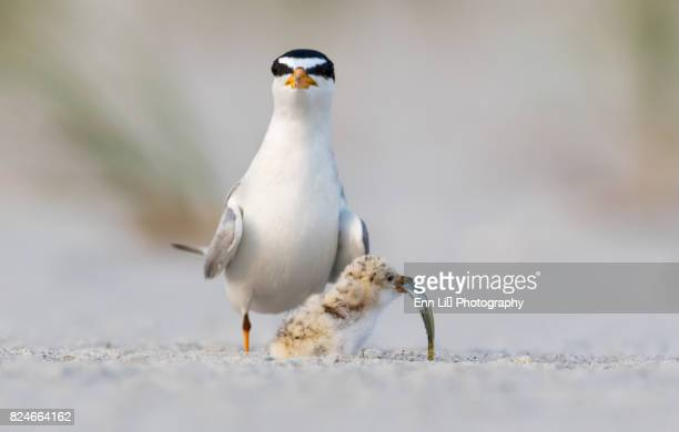 Least Tern (Sterna antillarum) mother with chick