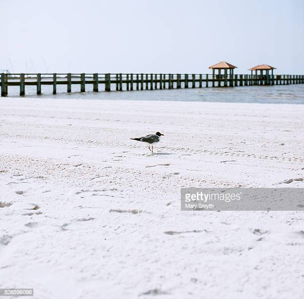 Least Tern On The Beach
