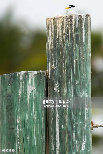 Least Tern (Sternula antillarum) resting on wooden post