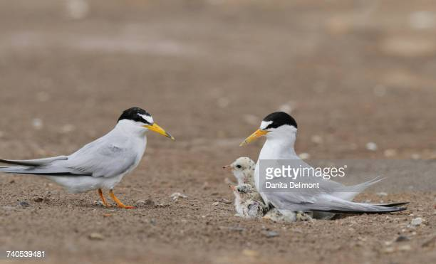 Least Tern (Sterna antillarum) warming chicks, Port Isabel, Laguna Madre, South Padre Island, Texas, USA
