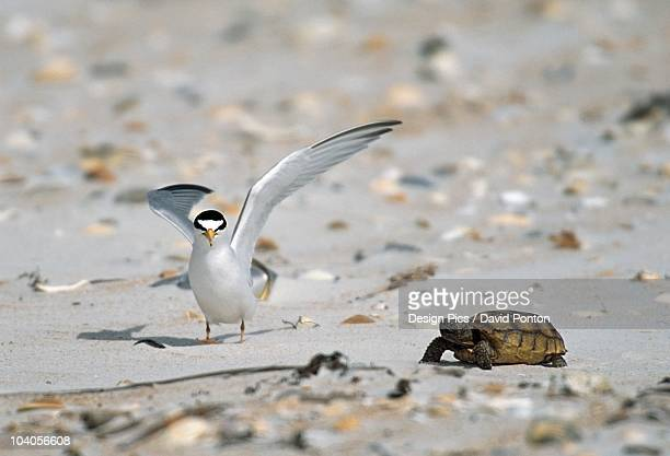 Least Tern (Sterna Antillarum) With Box Turtle On Sandy Beach