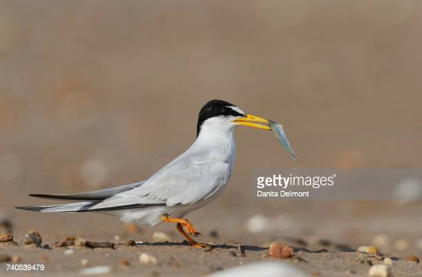 Least Tern (Sterna antillarum) with fish in mouth, Port Isabel, Laguna Madre, South Padre Island, Texas, USA
