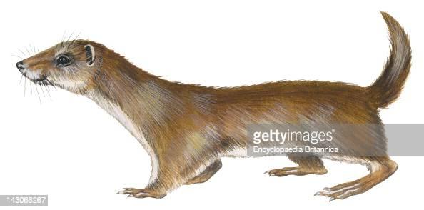 Least Weasel Least Weasel