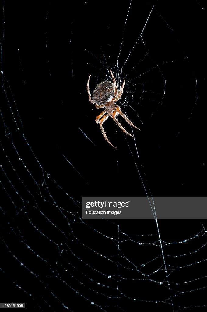 Leavenworth Kansas Spotted Orb Weaver spider Neoscona crucifera in web at night
