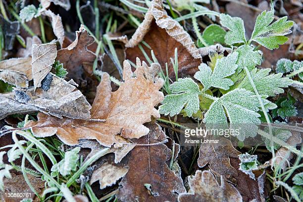 Leaves after a frosty night in wintertime