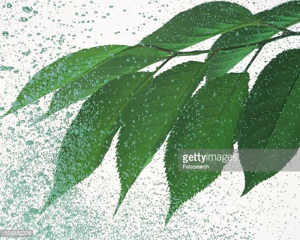 Leaves and Water Spray, Close Up,