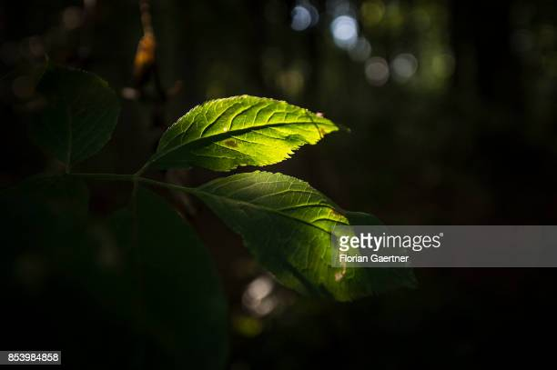 Leaves are pictured in the sun on September 22 2017 in Goerlitz Germany
