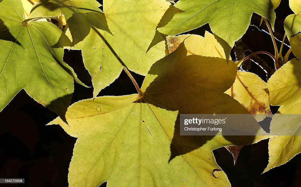 Leaves begin to display their autumnal colours at The National Trust's Tatton Park on October 17, 2012 in Knutsford, England. As summer draws to a close the cooler temperatures bring on the Autumn foliage colours.
