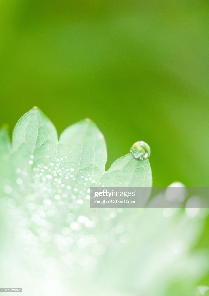 Leaves covered with drops of water : Stock Photo