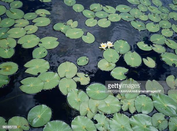 Leaves floating on marsh, Katashina village, Gunma prefecture, Japan
