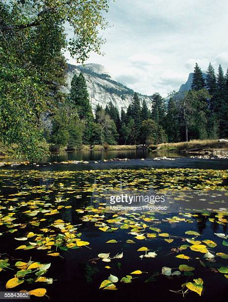 Leaves floating on water, Merced River, Yosemite National Park, Mariposa County, California, USA